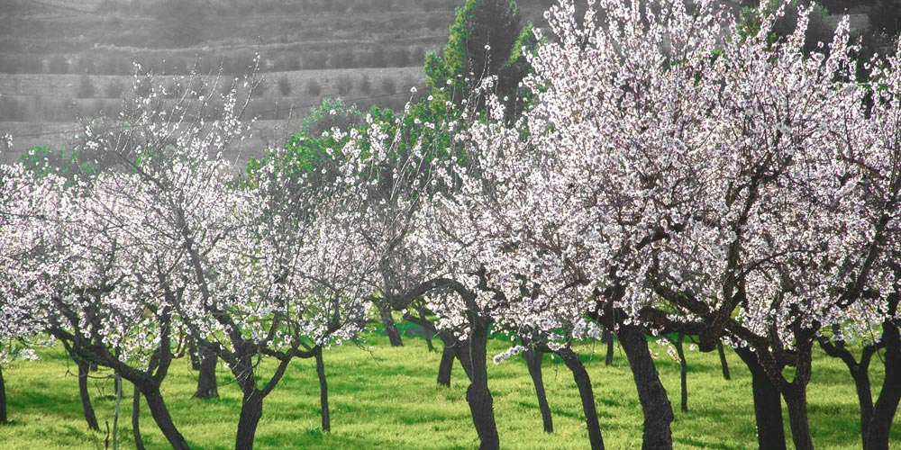 almond-blossom-mallorca