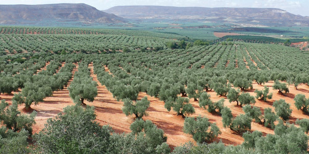 olive oil is the best in spain reasons and facts to live and love real estate in andalusia malaga sevilla casafari blog