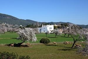santa agnes de corona almond trees ibiza