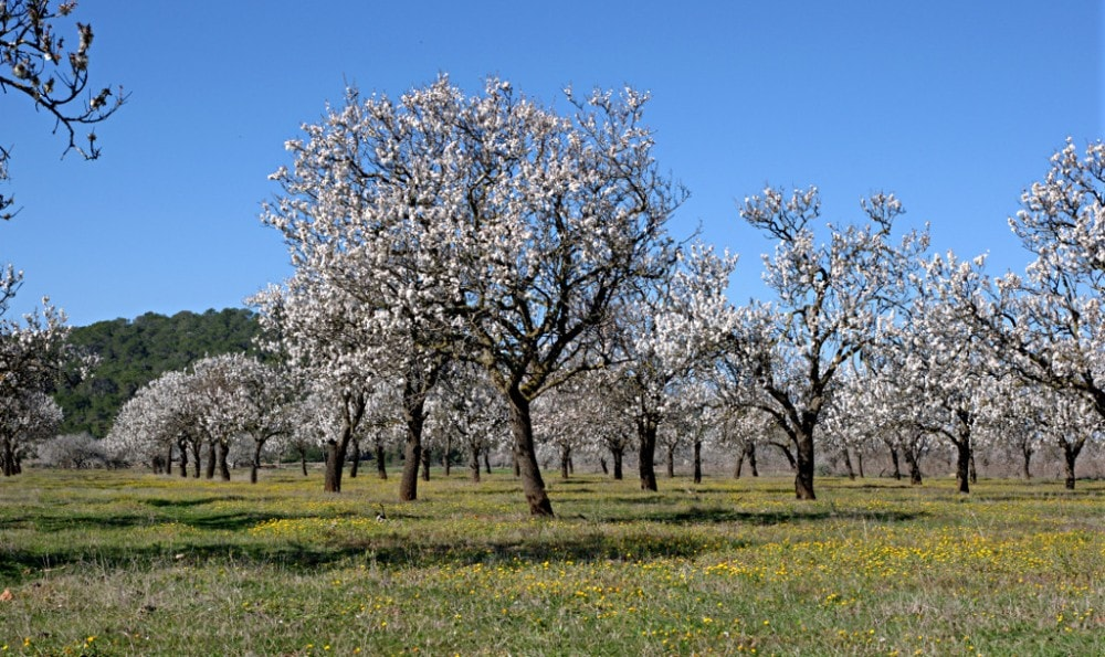 santa-agnes-de-corona-almond-trees-ibiza-min