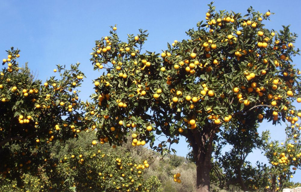 fornalutx citrus trees soller mallorca